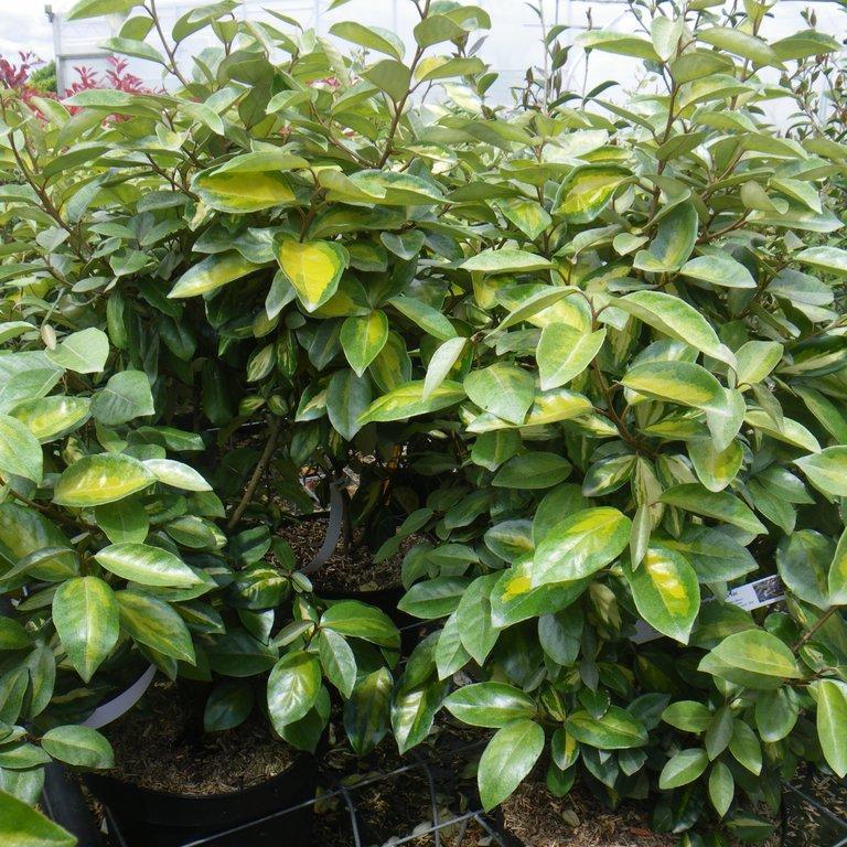 Arbustes de haie ou de massif Elaeagnus x ebbingei 'Limelight'