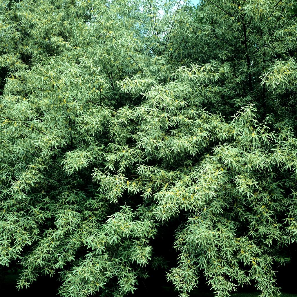 Petits arbres Olivier de bohème, chalef à feuilles étroites (Elaeagnus angustifolia)