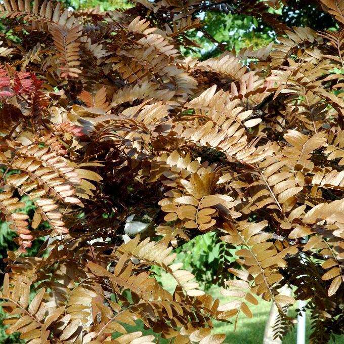 Espèce type Févier d'Amérique (Gleditsia triacanthos)