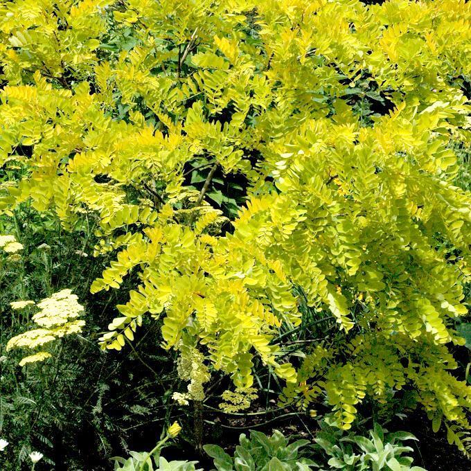 Cultivars ornementaux Gleditsia triacanthos 'Sunburst' (syn. G. t. 'Aurea')