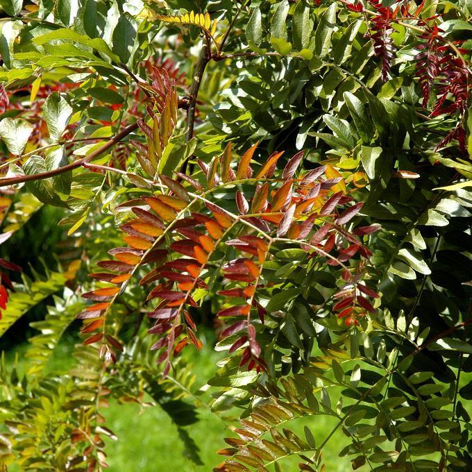 Cultivars ornementaux Gleditsia triacanthos 'Rubylace'