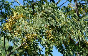 Semis et plantation du margousier
