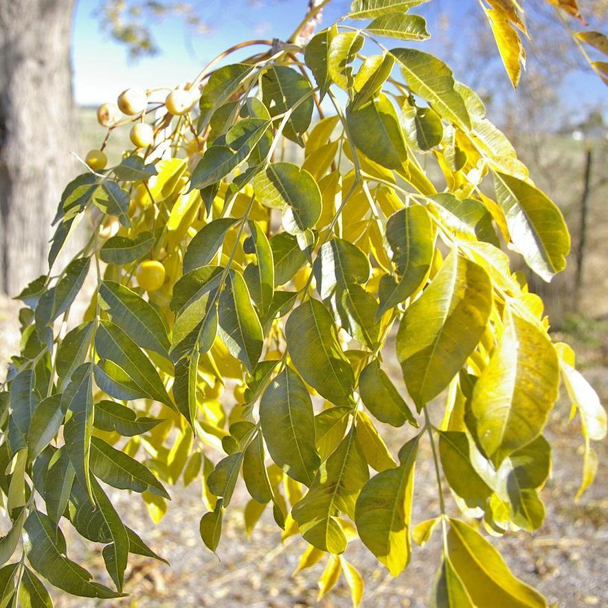 Autre variété White cedar (Melia azedarach var. australasica)