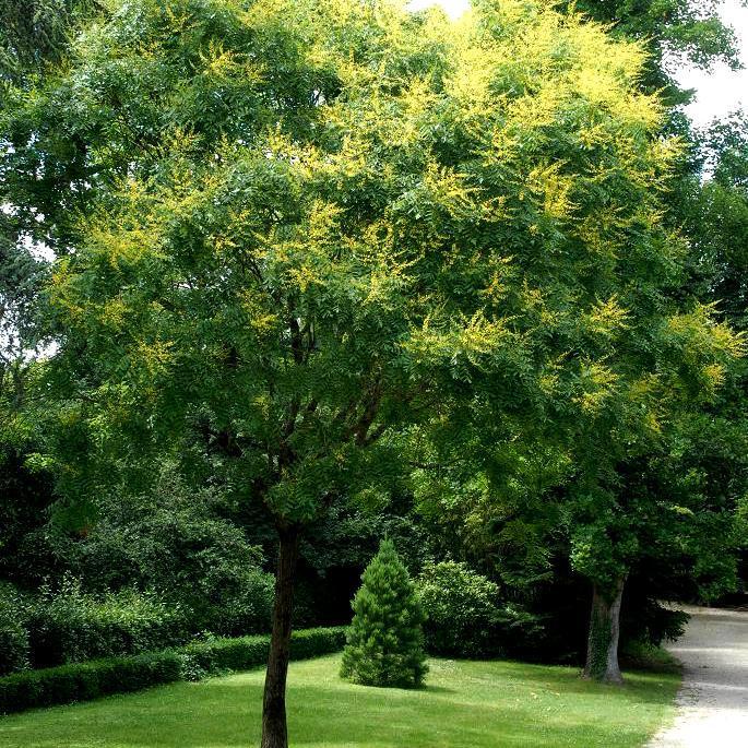 Espèce type Savonnier, arbre aux lanternes, bois de Panama Koelreuteria paniculata