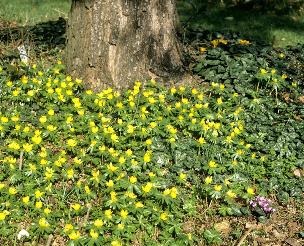 Ranthe d 39 hiver planter et cultiver ooreka for Couvrir les plantes en hiver