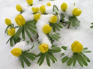 Semis et plantation de l'éranthed'hiver