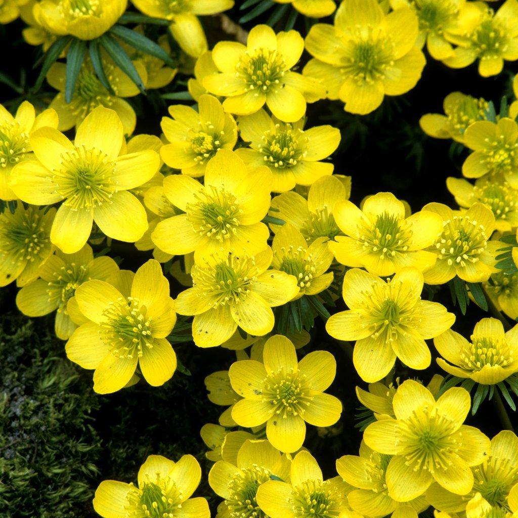 Espèces à fleurs jaunes Eranthis cilicica