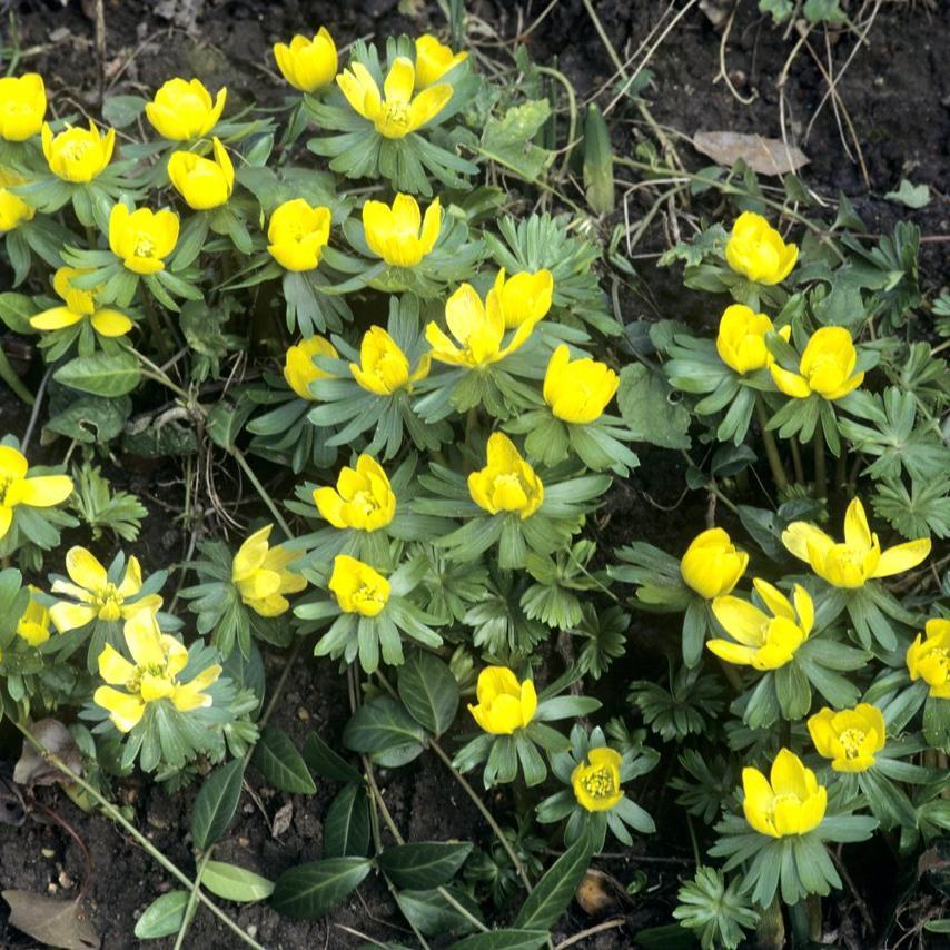 Espèces à fleurs jaunes Eranthis hyemalis