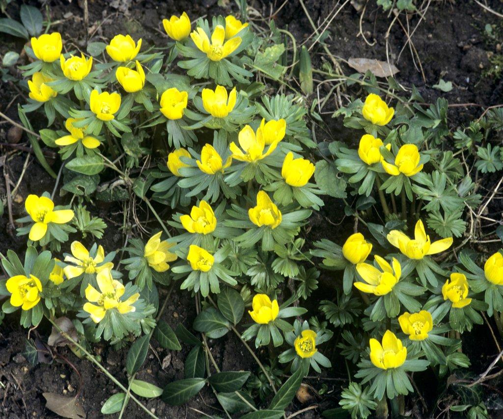 plante verte fleur jaune