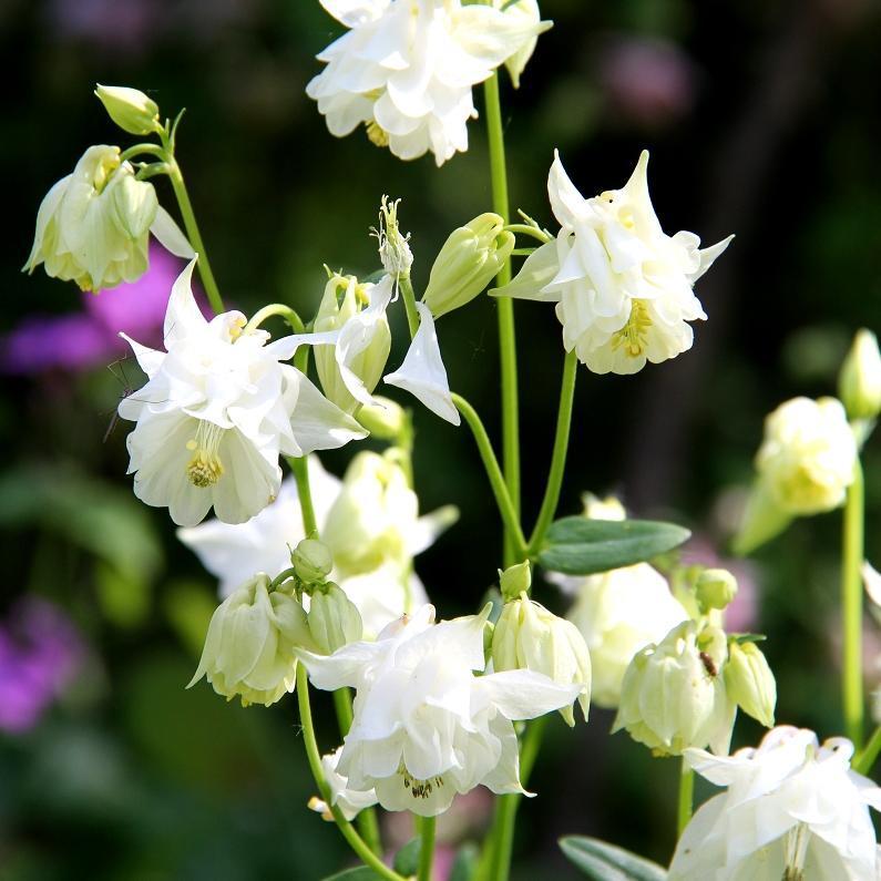 Espèces européennes Ancolie des jardins (Aquilegia vulgaris)