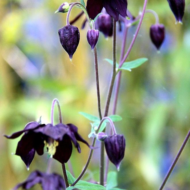 Espèces européennes Aquilegia vulgaris 'Black Barlow'