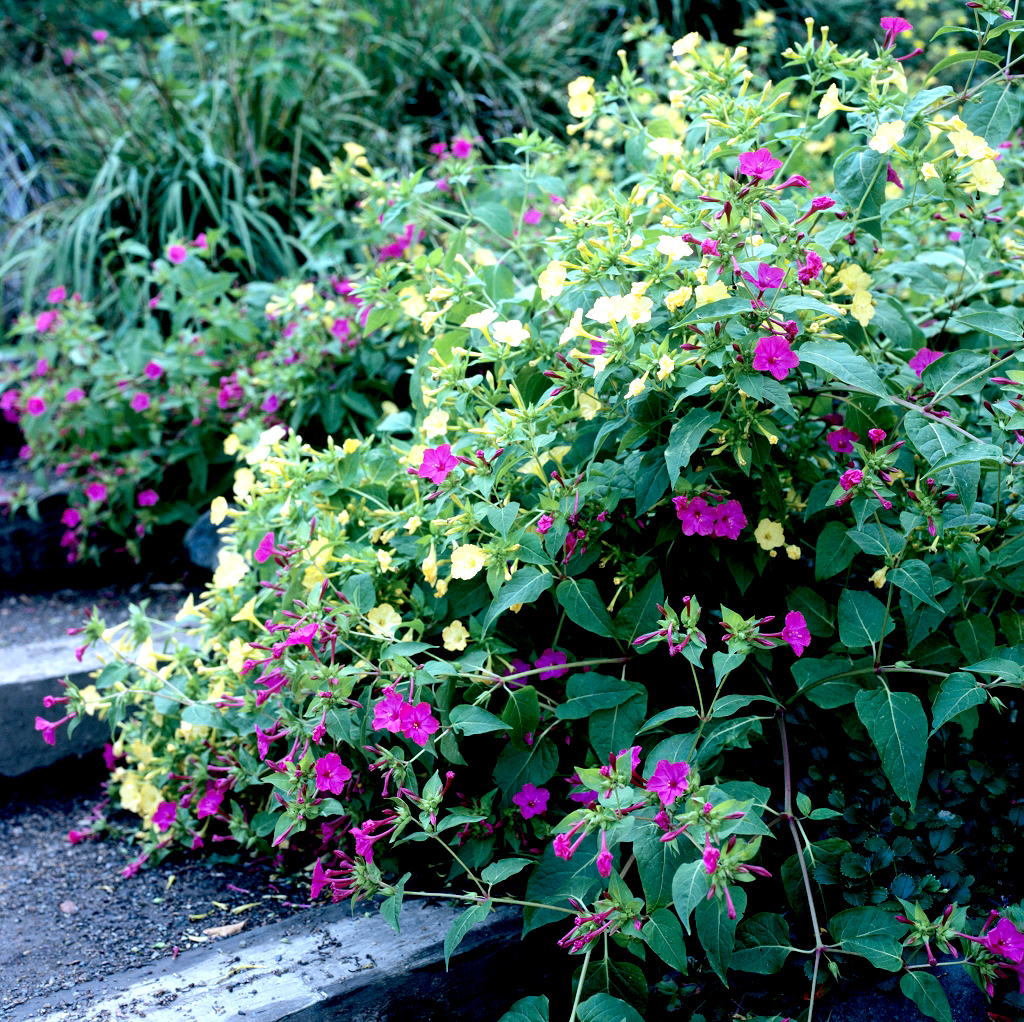Belle de nuit planter ou semer ooreka for Belle plante exterieur