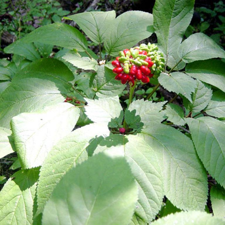 Ginseng américain, Ginseng à cinq folioles (Panax quinquefolius)