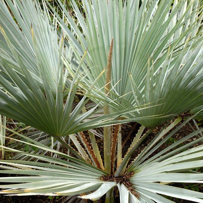 Espèces les plus fréquentes Palmier bleu du Mexique, érythéa bleu (Brahea armata, syn. B. clara, B. roezlii, Erythea armata, E. elegans…)