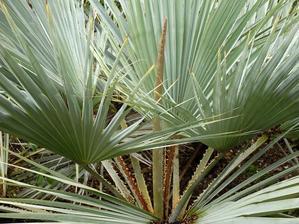 Culture et entretien du palmier bleu