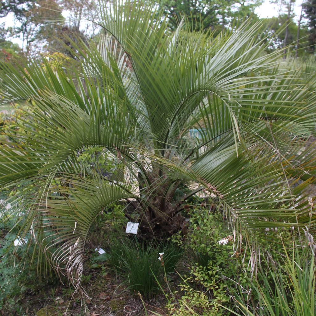 Autres espèces Butia eriospatha (syn. Cocos eriospatha, Syagrus eriospatha)