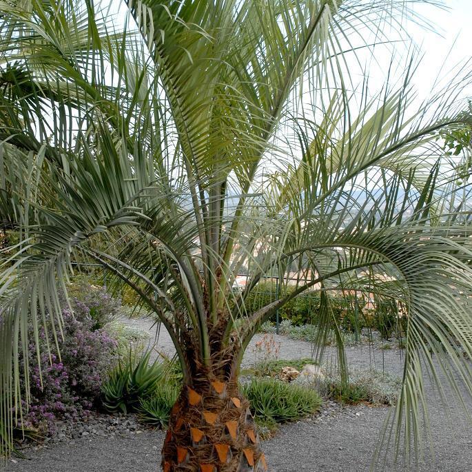 Espèce type Palmier abricot (Butia capitata, syn. Butia odorata, Cocos erythrospatha, Syagrus capitata)