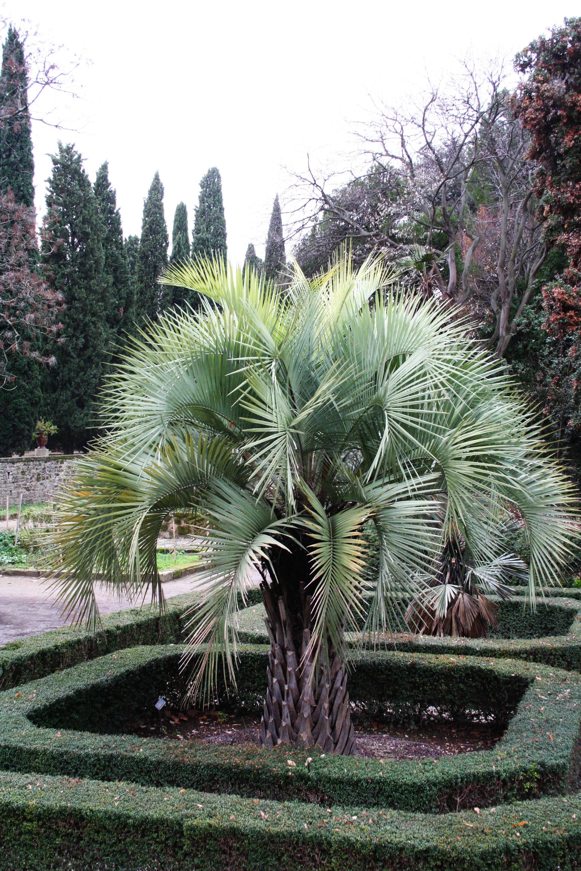 palmier butia