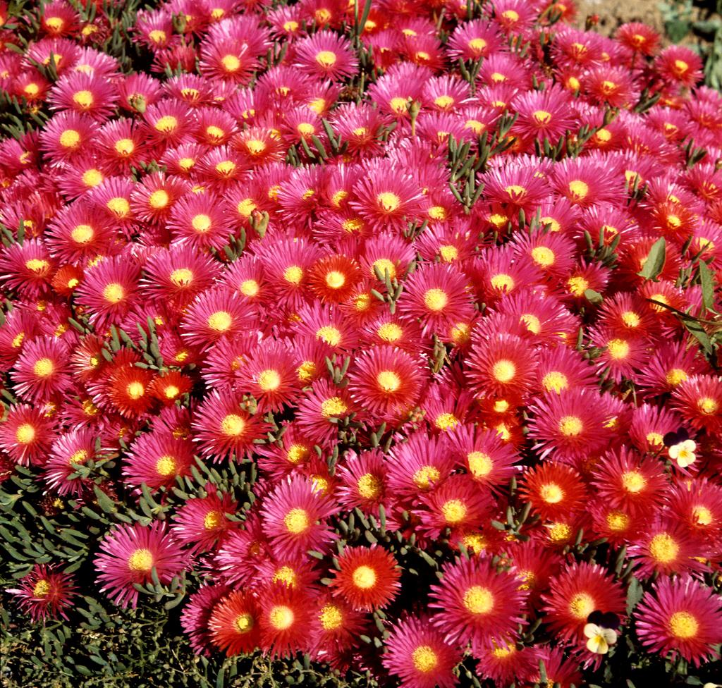 Carpobrotus planter et cultiver ooreka for Ou trouver de belles plantes artificielles