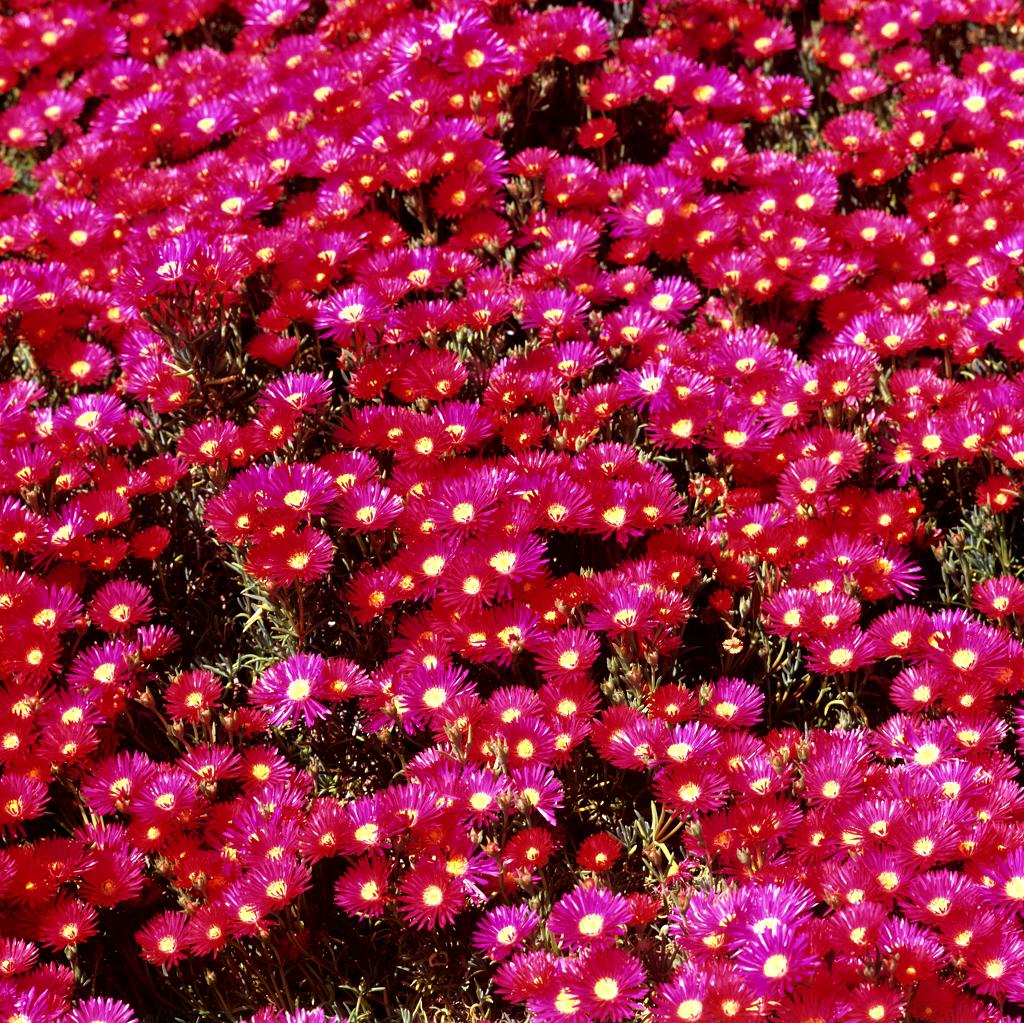 Carpobrotus planter et cultiver ooreka for Plante grasse couvre sol