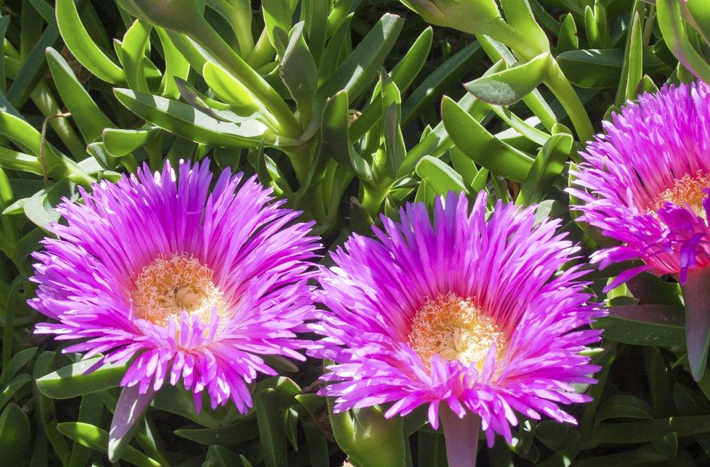 Carpobrotus planter et cultiver ooreka - Plantes bord de mer atlantique ...