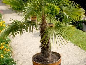 chamaerops humilis planter et cultiver ooreka. Black Bedroom Furniture Sets. Home Design Ideas