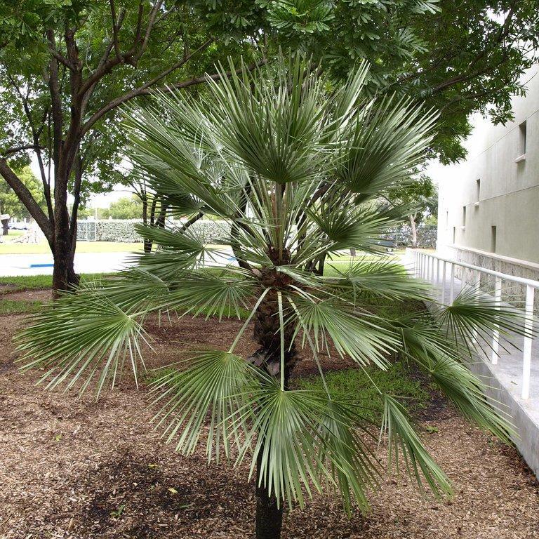 Palmier de Goethe (Chamaerops humilis  var. arborescens ou elata)
