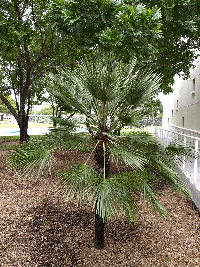 Chamaerops humilis planter et cultiver ooreka - Type de palmier ...