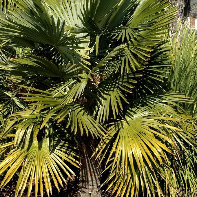 Palmier nain, faux doum (Chamaerops humilis )