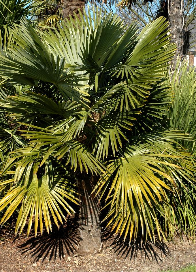 Chamaerops humilis planter et cultiver ooreka - Racine d un palmier ...