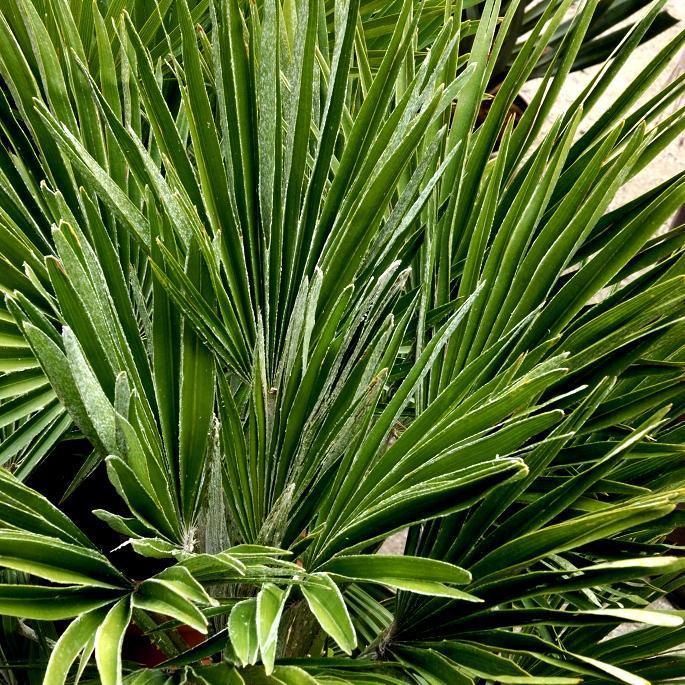 Chamaerops humilis 'Vulcano' (syn. Chamaerops humilis 'Etna')