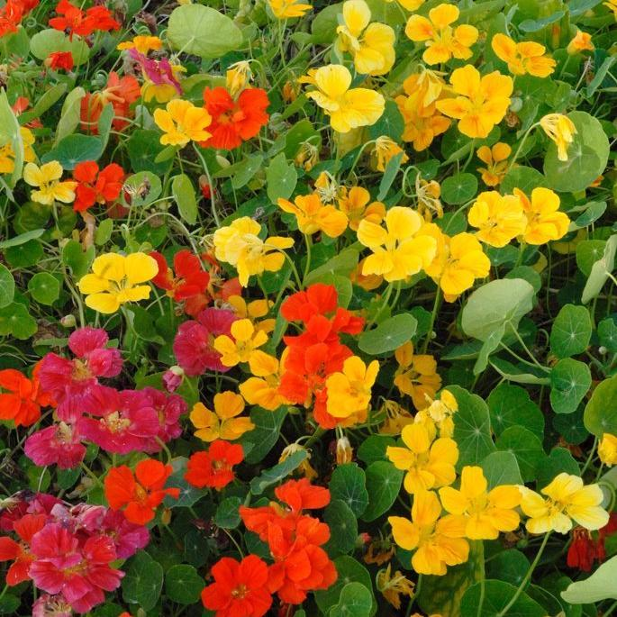 Capucine naine à fleurs doubles 'Florissimo double rose'