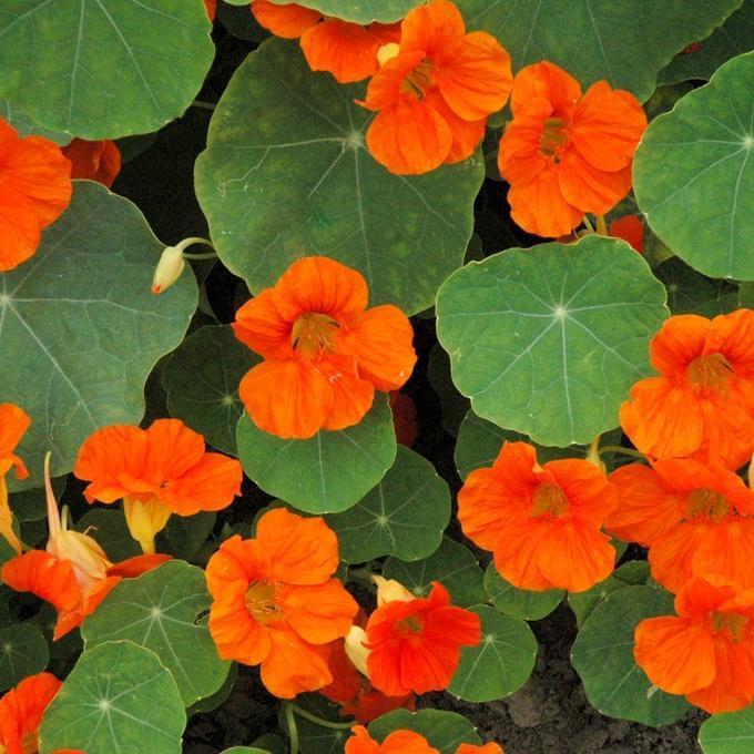 Capucine naine à fleurs simples Race Tom Pouce