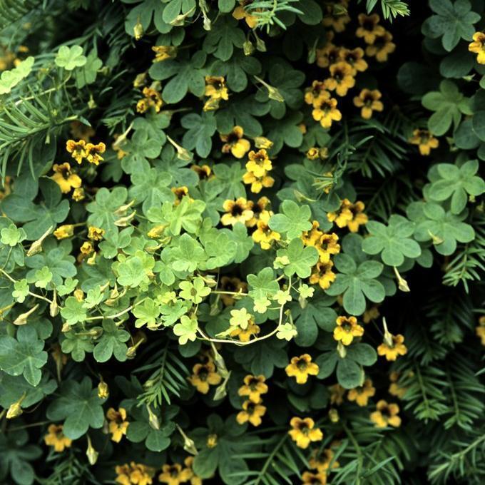 Capucine grimpante Capucine tubéreuse (Tropaeolum tuberosum)