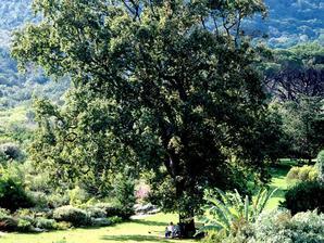 Semis et plantation d'un chêne