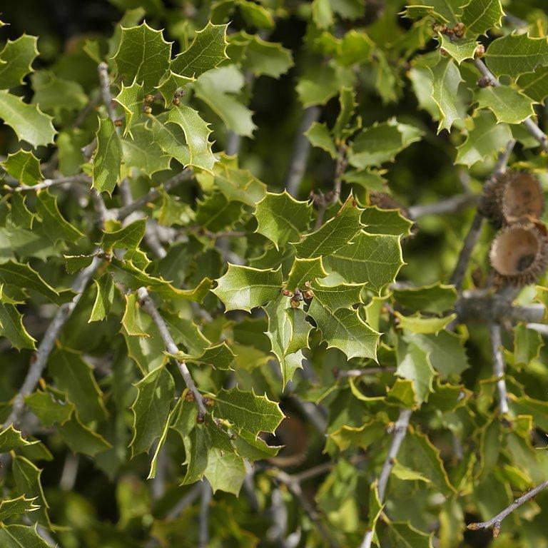 Variétés à feuillage persistant Chêne kermès (Quercus coccifera)