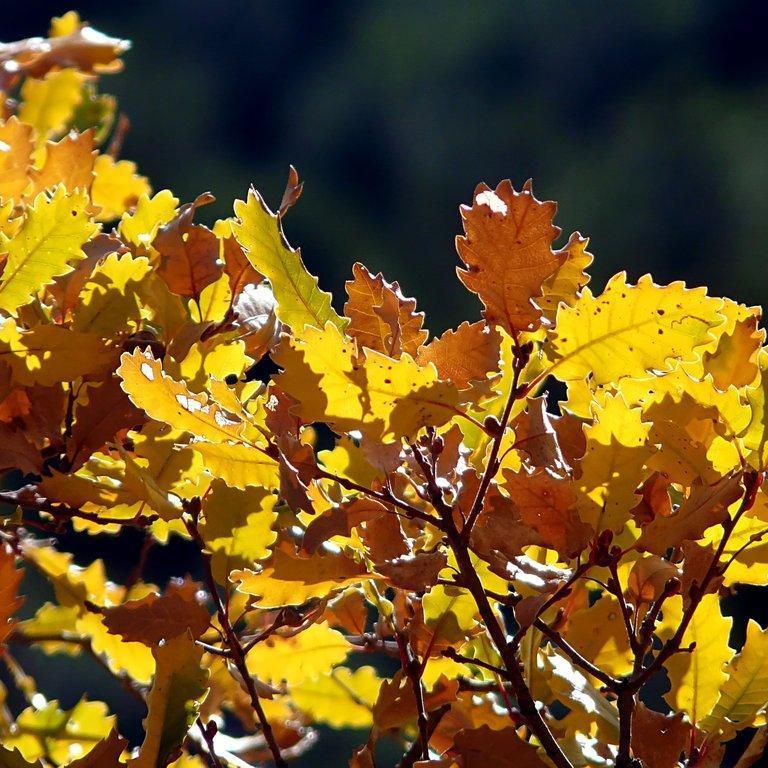 Variétés à feuillage caduc Chêne du Portugal (Quercus faginea)