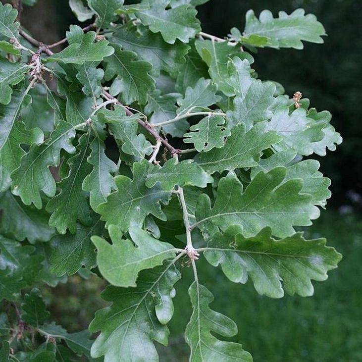 Variétés à feuillage caduc Chêne pubescent ou chêne blanc (Quercus pubescens)