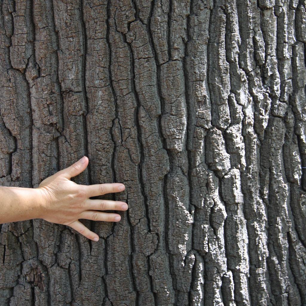 Variétés à feuillage caduc Chêne chevelu (Quercus cerris)