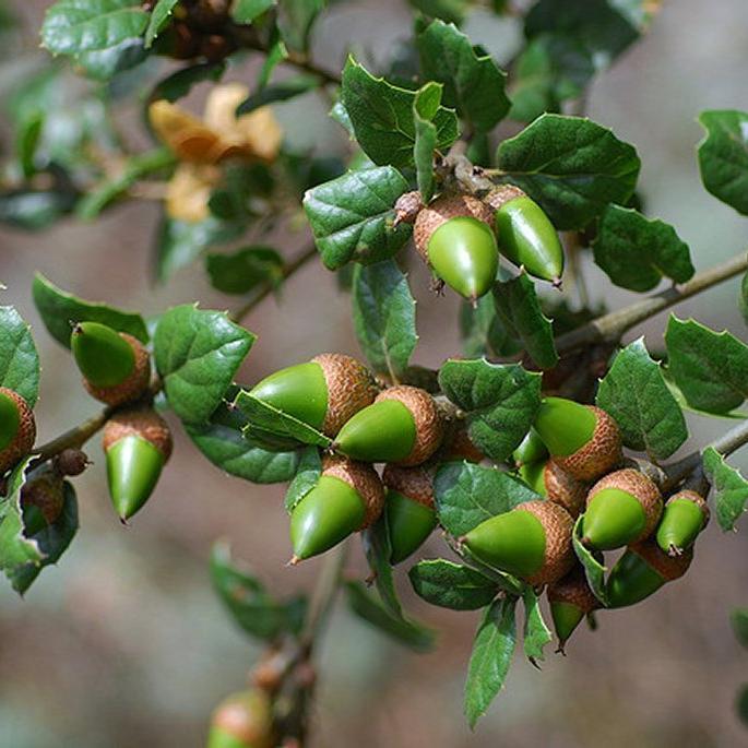 Variétés à feuillage persistant Chêne vert de Californie (Quercus agrifolia)