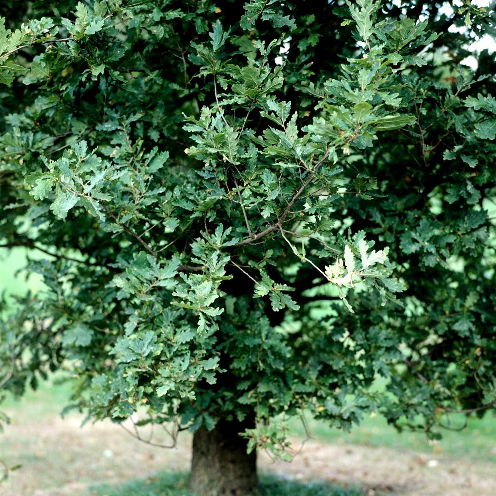 Variétés à feuillage caduc Chêne pédonculé (Quercus robur, syn Q. Pedunculata)