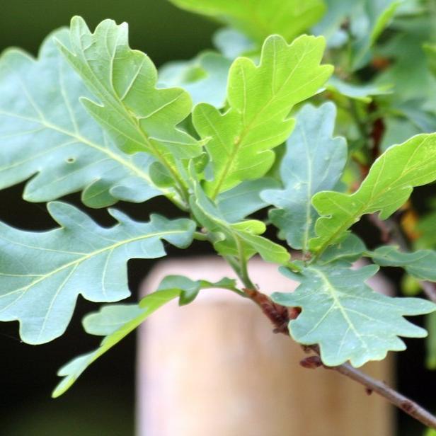 Variétés à feuillage caduc Chêne pédonculé à port fastigié (Quercus robur 'Fastigiata')