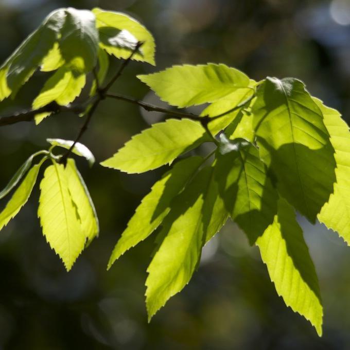 Variétés à feuillage caduc Chêne serrata (Quercus serrata)