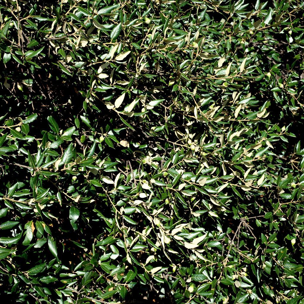Variétés à feuillage persistant Chêne vert (Quercus ilex)