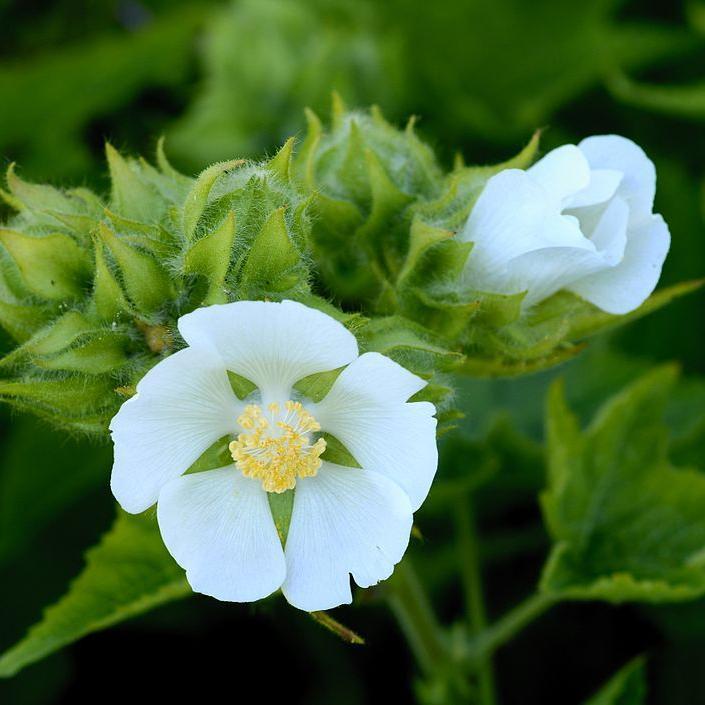Kitaibelia vitifolia planter et cultiver ooreka - Comment planter des asperges ...