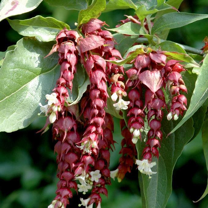 Leycesteria formosa Espèce type