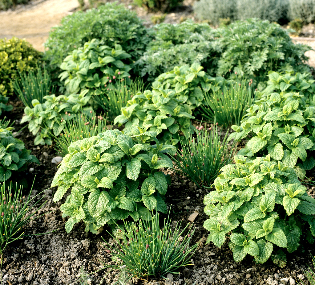 M lisse planter et cultiver ooreka for Couvrir les plantes en hiver