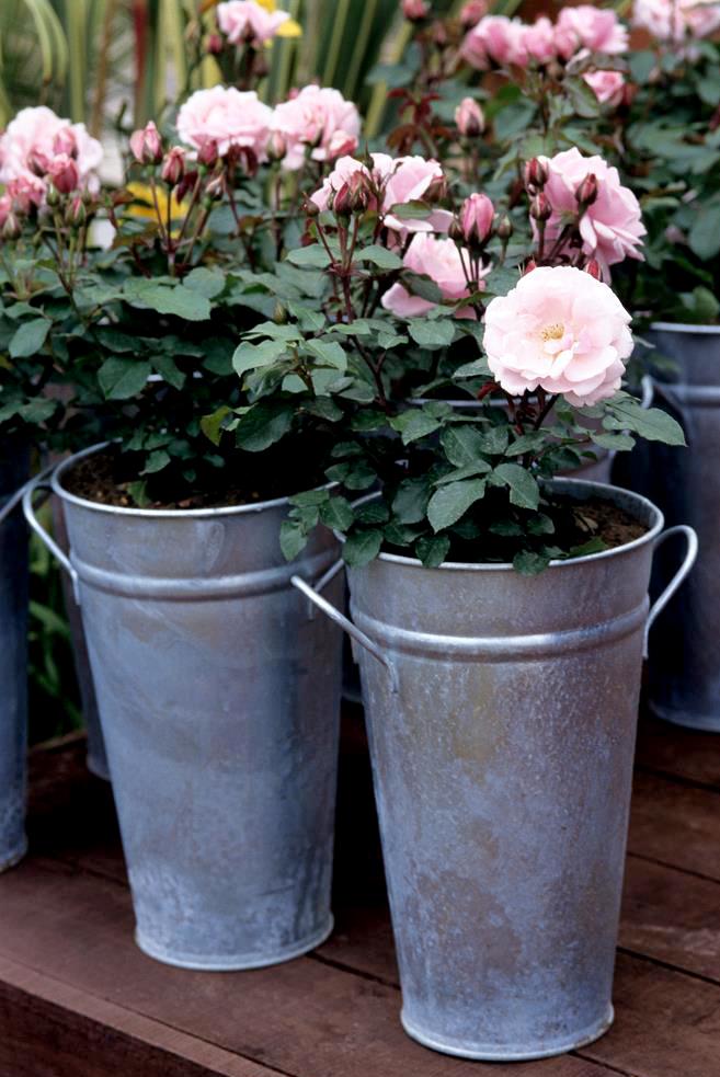 Mini rosier : planter et cultiver - Ooreka