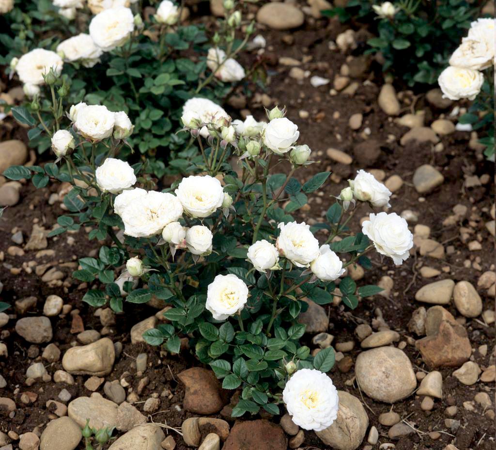 Quand Et Comment Tailler Un Rosier mini rosier : planter et cultiver – ooreka