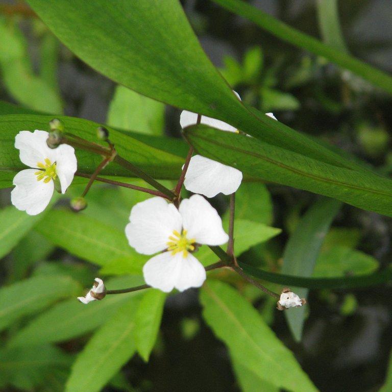 Espèces d'origine sauvage, indigènes dans diverses zones tempérées du globe. Sagittaire gramineuse (Sagittaria graminea)